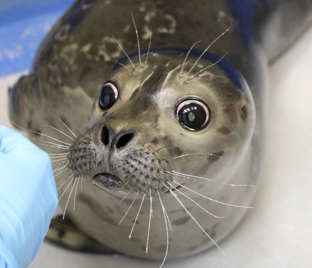 This January 20, 2015 photo shows Bryce, a blind harbor seal pup, at the Alaska SeaLife Center in Seward, Alaska. The seal, rescued in December, was deemed unfit to be released back into the wild. (Photo by Jenna Miller/AP Photo/Alaska SeaLife Center)