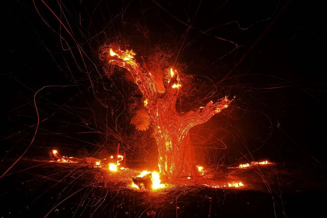 Wind-blown embers fly from an ancient oak tree that burned in the Silver Fire near Banning, California, on August 7, 2013. (Photo by David McNew/Reuters)