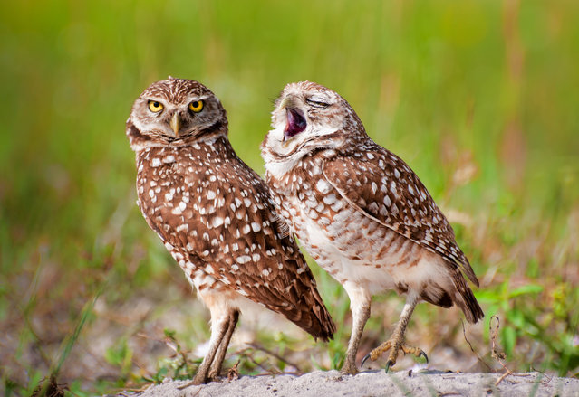 An owl yawns. (Photo by Danielle D'Ermo/Barcroft Images/Comedy Wildlife Photography Awards)