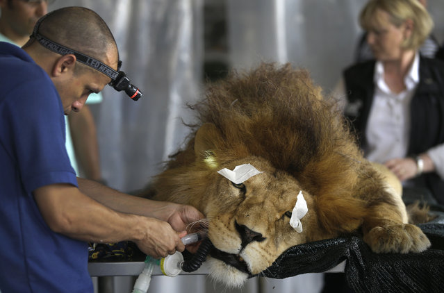 """A former circus lion named """"King"""" lays sedated as a veterinarian performs dental surgery, inside a temporary refuge for the lion on the outskirts of Lima, Peru, Friday, February 20, 2015. (Photo by Martin Mejia/AP Photo)"""