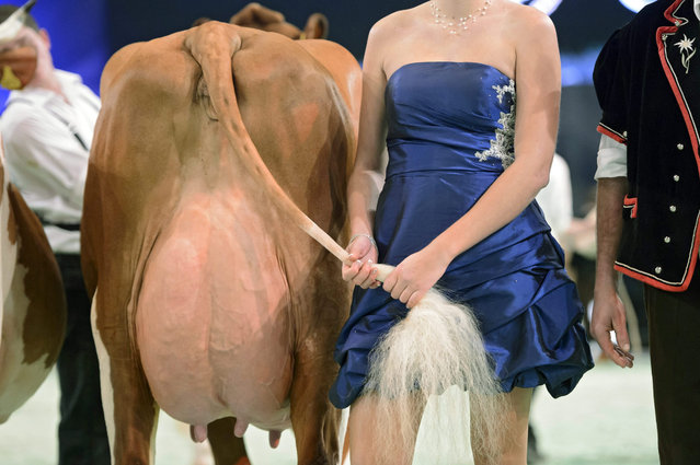 A woman in evening gown holds the tail of a cow to side so that photographers can photograph the udder of the cow, during the beauty contest at the Swiss Expo agricultural show and international cattle competition, in Lausanne, Switzerland, 14 January 2016. Swiss Expo is the largest competition of dairy cows in Switzerland. A thousand cattle and 23,000 visitors are expected for the 20th edition of this Swiss Expo agricultural show. (Photo by Laurent Gillieron/EPA)