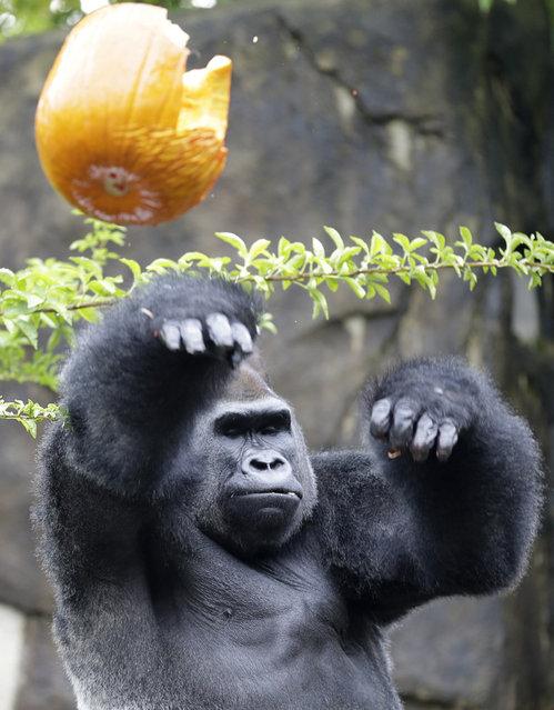 Jomo, a silverback gorilla, throws a Halloween pumpkin, Thursday, Oct. 3, 2013, at the Cincinnati Zoo in Cincinnati. The gorillas were enjoying the zoo's annual Pumpkin Hunt where they fill pumpkins with treats, such as granola, raisins, sunflower seeds, peanuts, grapes, popcorn and apples. (Photo by Al Behrman/AP Photo)