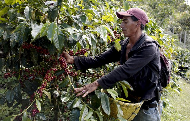 A man of the Nicaraguan ethnic tribe Miskito picks coffee berries at the Nogales farm in Jinotega,Nicaragua January 7, 2016. (Photo by Oswaldo Rivas/Reuters)