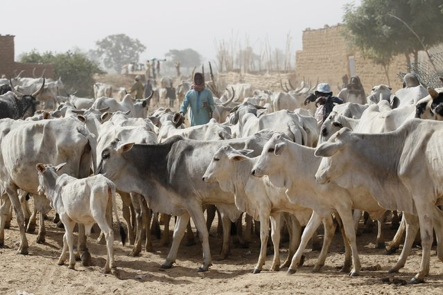 Local herders watch their cows at a local milk collecting centre in Dangwala Karfi village on the outskirts of Nigeria's northern city of Kano January 19, 2016. (Photo by Akintunde Akinleye/Reuters)