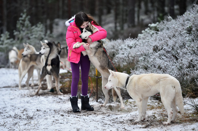 Emily Squire hugs a husky as she joins Sledders as they practice at a forest course ahead of the Aviemore Sled Dog Rally on January 19, 2016 in Feshiebridge, Scotland. (Photo by Jeff J. Mitchell/Getty Images)