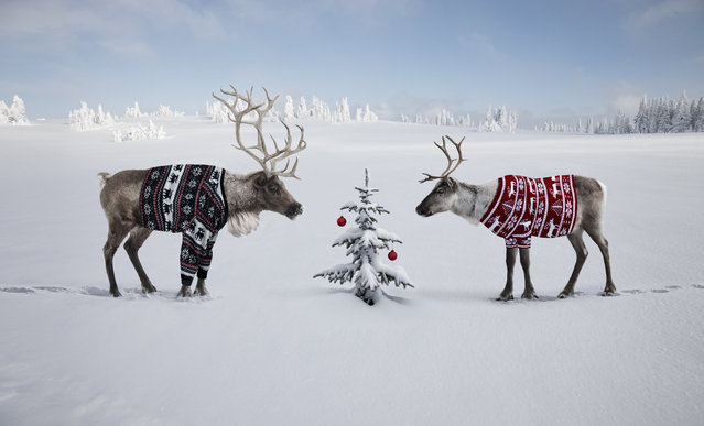 Two reindeer in reindeer sweaters by small tree. (Photo by Per Breiehagen/Getty Images)
