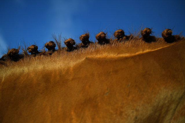 A horse's mane is prepared with knotted plaits before the Meath Hunt club fox hunt during a meet near Kells, Ireland December 22, 2018. (Photo by Clodagh Kilcoyne/Reuters)