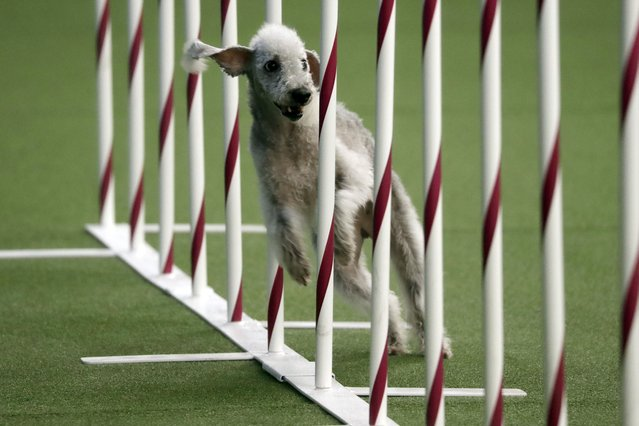 Valkyrie, a Bedlington terrier, competes in the Masters Agility preliminary rounds during the Westminster Kennel Club Dog Show on Saturday, February 9, 2019, in New York. (Photo by Wong Maye-E/AP Photo)