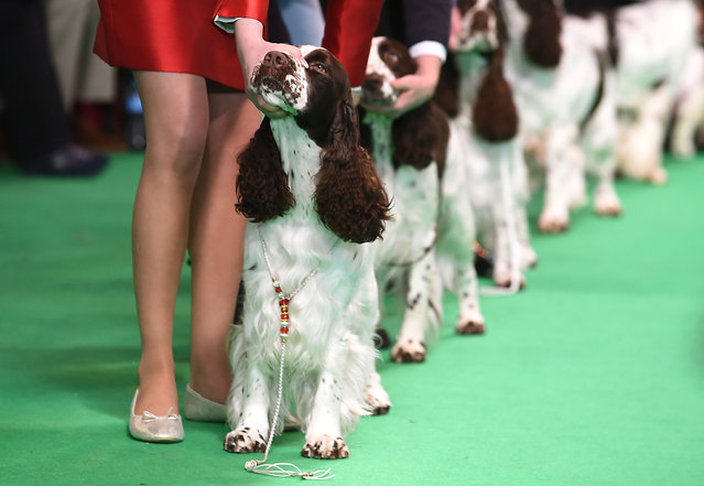 Spaniels are judged on day two of Crufts 2016 at the NEC, Birmingham on March 11, 2016. (Photo by Joe Giddens/PA Wire)