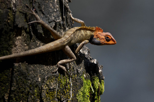 An Oriental Garden Lizard sits on a tree in Gauhati, India, Tuesday, April 16, 2019. During the breeding season, the male lizard's head and throat turn a bright color. (Photo by Anupam Nath/AP Photo)