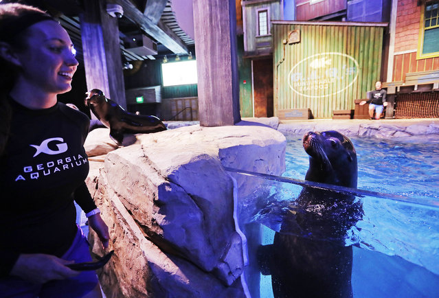 In this Monday, March 28, 2016 photo, assistant trainer Abigail Kucher, left, goes to feed a fish to Diego, a rescued California sea lion, during a rehearsal for a new exhibit opening at the Georgia Aquarium. (Photo by David Goldman/AP Photo)