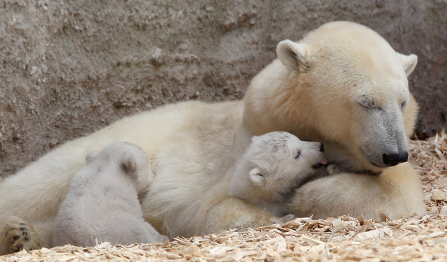 14 week-old twin polar bear babies rest with their mother Giovanna during their first presentation to the media in Hellabrunn zoo on March 19, 2014 in Munich, Germany. (Photo by Alexandra Beier/Getty Images)