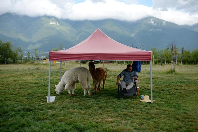 Qin Weigang sits with his alpacas under a tent as he waits for photo-taking customers near Erhai Lake in Dali Bai Autonomous Prefecture, Yunnan province, China on June 15, 2019. The selfie seekers can take a picture with wooly alpacas imported from South America's Andes Mountains. Others can take a picture sitting in a hanging bubble chair or on a mirror-covered platform. A package of 35 photos costs 199 yuan ($29), said Zhang Hongtao, who manages a photo stall. (Photo by Tingshu Wang/Reuters)