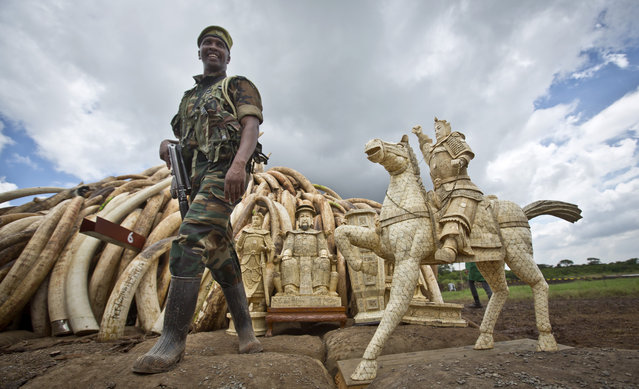 A ranger from the Kenya Wildlife Service (KWS) stands guard near an ivory statue in front of one of around a dozen pyres of ivory, in Nairobi National Park, Kenya Thursday, April 28, 2016. (Photo by Ben Curtis/AP Photo)