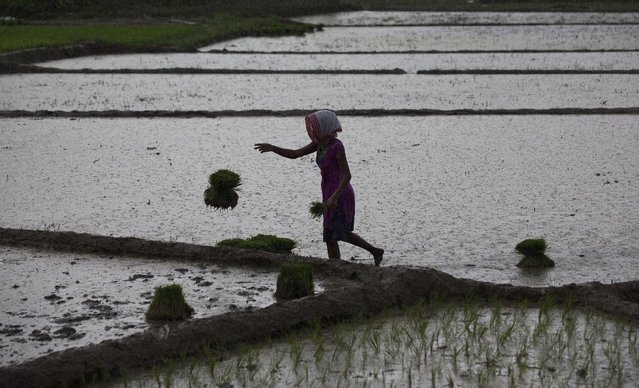 A woman works at a paddy field in Reba Maheswar village, 56 kilometers (35 miles) east of Gauhati, India, Friday, July 3, 2015. (Photo by Anupam Nath/AP Photo)