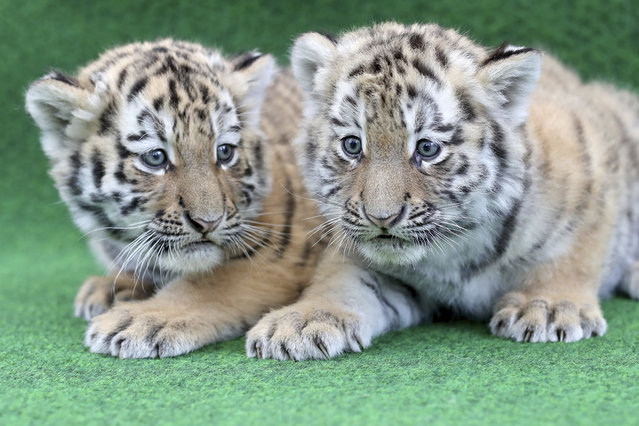 Two six-week-old baby tigers wait to be vaccinated for the first time at a Zoo in Leipzig, Germany, 11 April 2017. The vaccinations are repeated 3 to 4 times before they turn one. The pair each weigh about 6 kg and their mother weighs 350 kg. The Zoo is in the process of naming them. (Photo by Jan Woitas/Picture-alliance/DPA/AP Images)