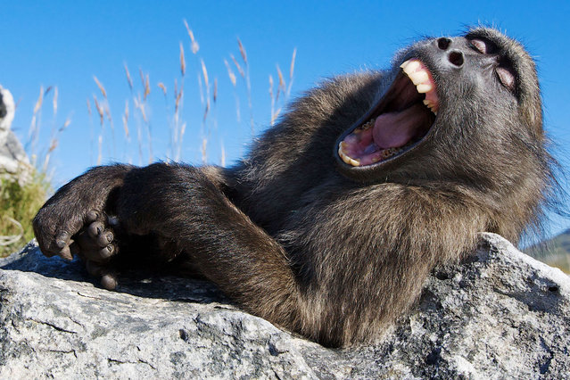 The yawning chacma baboon, This is the moment sleepy baboon couldnt stifle an enormous yawn. (Photo by Lee Slabber/Caters News Agency)