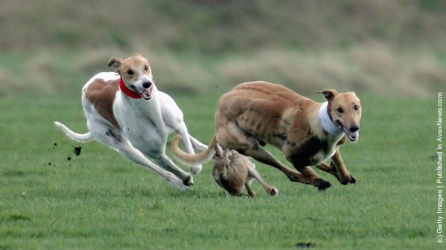 Greyhounds race after a Hare at the last Waterloo Cup Hare coursing event