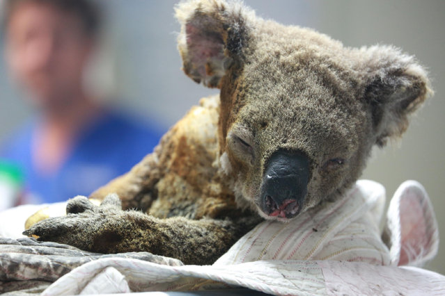An injured koala receives treatment after its rescue from a bushfire at the Port Macquarie Koala Hospital on November 19, 2019 in Port Macquarie, Australia. (Photo by Tao Shelan/China News Service/VCG via Getty Images)