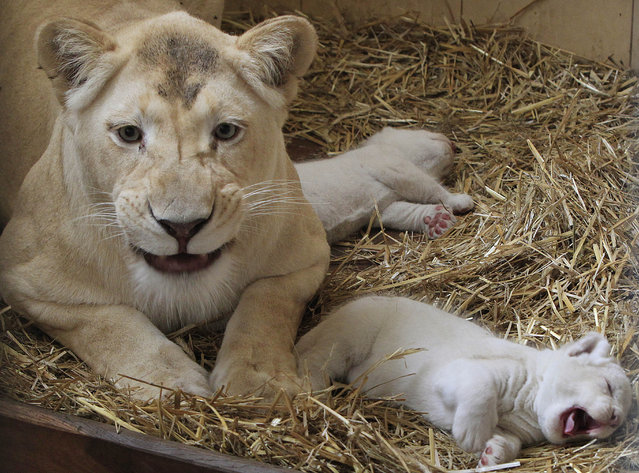 Three week old white lions relax in their cage with their mother Azira at a private zoo in Borysew, Poland, Sunday, July 26, 2015. They are the third litter by Azira, fathered by Sahim, who has, however, been separated from them as a precaution. (Photo by Czarek Sokolowski/AP Photo)