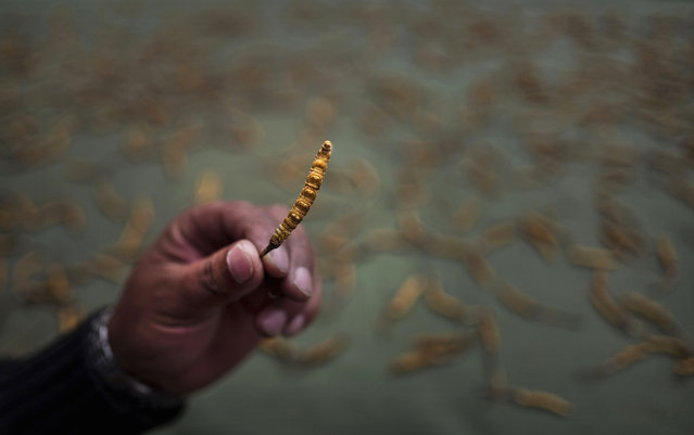 A Tibetan inspects high quality cordycep fungus on May 18, 2016 at a market in Yushu on the Tibetan Plateau in the Yushu Tibetan Autonomous Prefecture of Qinghai province. (Photo by Kevin Frayer/Getty Images)