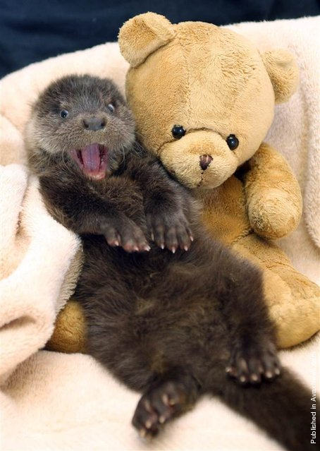 """""""Hope the otter has every reason to be smiling after cheating death. The underweight eight week old cub was found wandering alone along the road until she was rescued by a kind-hearted member of the public. Since her rescue she's made a miraculous recovery and even made some new friends, like this teddy bear"""""""