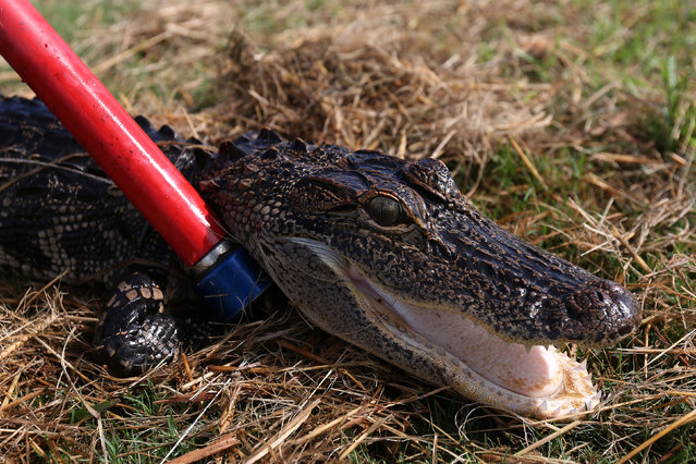 An alligator is held down after it was caught by a trapper to relocate it to a more natural environment in Orlando, Florida, U.S., June 19, 2016. (Photo by Carlo Allegri/Reuters)
