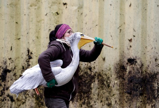 A zoo keeper carries a pelican to move it to its winter enclosure at Dvur Kralove Zoo in Dvur Kralove nad Labem, Czech Republic November 5, 2019. (Photo by David W. Cerny/Reuters)