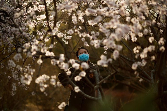A woman wearing a protective mask looks at blossoms in a park on a sunny day in Beijing as the country is hit by an outbreak of the novel coronavirus disease (COVID-19), China, March 21, 2020. (Photo by Thomas Peter/Reuters)