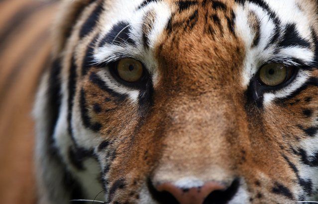 A Siberian Tiger walks around in its enclosure at the zoo in Muenster, western Germany, on August 18, 2014. (Photo by Patrik Stollarz/AFP Photo)