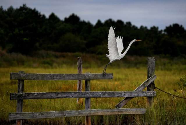 A great egret leaves its perch under threatening skies at the small enclave of Fishing Creek on Hooper's Island in Dorchester County, Md. on September 2, 2017. (Photo by Michael S. Williamson/The Washington Post)