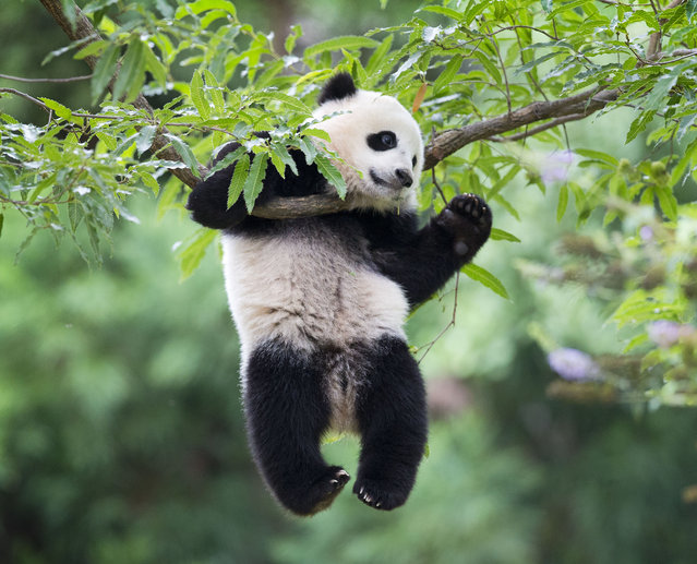 """Panda cub Bao Bao hangs from a tree in her habitat at the National Zoo in Washington on her first birthday, Saturday, August 23, 2014. The National Zoo is celebrating with a traditional """"Zhuazhou"""" ceremony, a Chinese birthday tradition symbolizing long life. (Photo by Pablo Martinez Monsivais/AP Photo)"""
