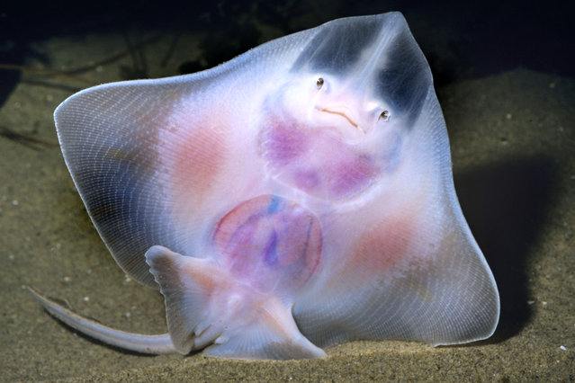 Thornback Skate. (Photo by Ken Lucas/Caters News)
