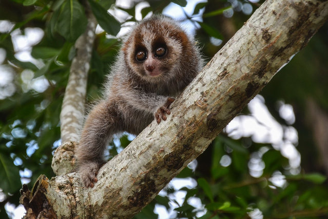 This photo taken on May 11, 2020 shows a slow loris climbing a tree at an office of the Nature Conservation Agency (BKSDA) in Pekanbaru, Riau province, Indonesia. (Photo by Wahyudi/AFP Photo)