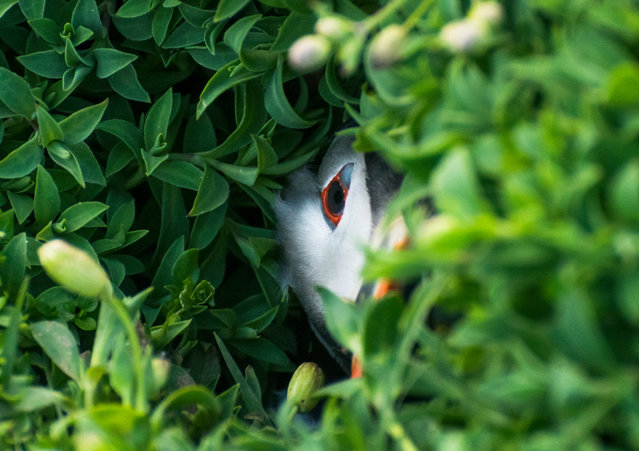 """Oliver Teasdale, under-12 category winner: Puffin in a Hole, Skokholm Island, Pembrokeshire. """"... I was lucky enough to be sat by a side window of one of the hides when this little puffin poked his head out of its burrow. This is my favourite shot from the sequence as the puffin is well hidden by the sea campion growing at the entrance to the burrow"""". (Photo by Andy Teasdale/British Wildlife Photography Awards 2017)"""