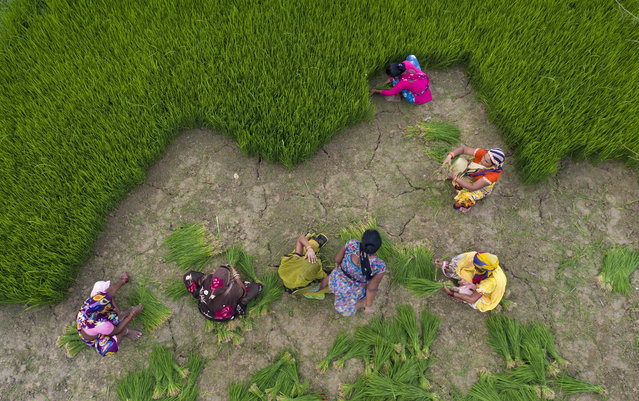This drone shot shows Indian farmers collecting paddy saplings to replant in a field on the outskirts of Prayagraj, India, Thursday, July 2, 2020. Agriculture is the main livelihood of more than 50 percent of India's population. (Photo by Rajesh Kumar Singh/AP Photo)