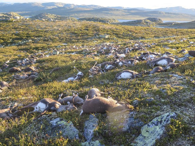A handout picture provided by the Norwegian Environment Agency (Miljodirektoratet) shows more than 300 wild reindeer which were found dead on Hardangervidda, Norway, 28 August 2016. The animals apparently died after lightning struck the central mountain plateau. (Photo by Havard Kjotvedt/EPA/SNO)