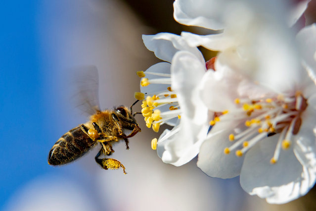 A honey bee collects pollen from a blossoming pear tree near Nagykanizsa, southwestern Hungary, 15 March 2020, when the daily temperature peaked at 9 degree Celsius in the southwestern region of the country. (Photo by Gyorgy Varga/EPA/EFE)