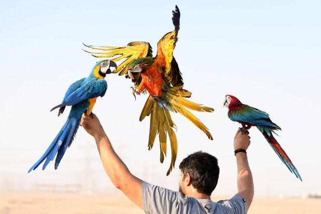 A bird lover trains parrots during a parrot-training show in Mubarak Al-Kabeer Governorate, Kuwait, July 9, 2020. (Photo by Ghazy Qaffaf/Xinhua News Agency)