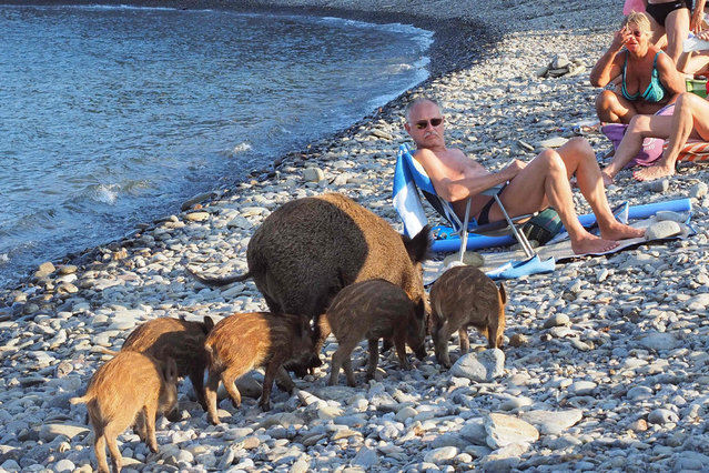 A wild boar and her piglets arrive on a beach to cool off in sea water whilst people sunbath on September 12, 2016 in Cerbere, southwestern France. (Photo by Raymond Roig/AFP Photo)