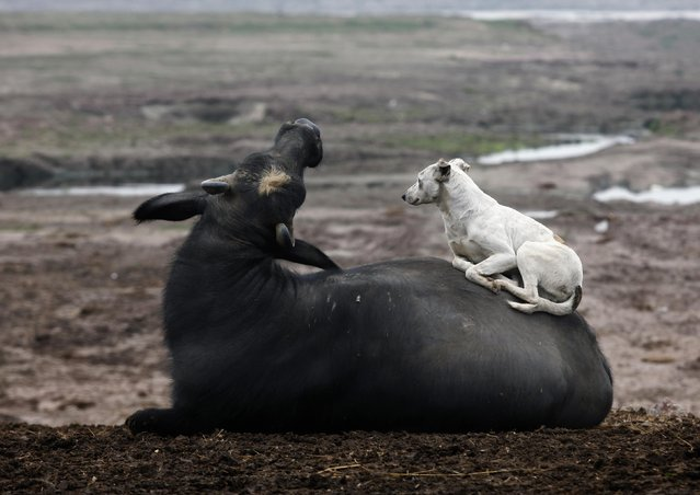 A dog rests on a buffalo near Ravi River in Lahore, Pakistan, on Febuary 4, 2013. (Photo by Mohsin Raza/Reuters)