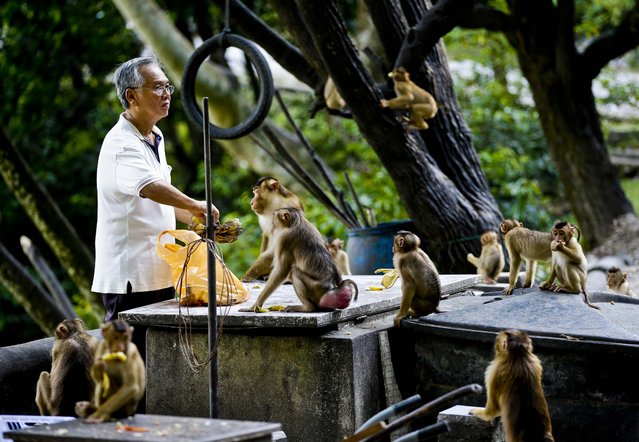 A man prepares to feed a troop of monkeys  at a park in a suburb of Kuala Lumpur, Malaysia, on March 4, 2013. (Photo by Mark Baker/Associated Press)