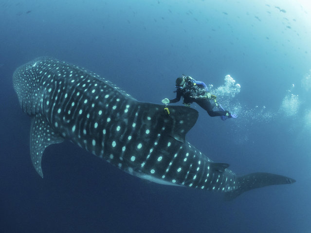 In this 2017 photo provided by Simon Pierce, Jonathan Green checks on a fin-mounted satellite tag on a whale shark in the Galapagos Islands area of Ecuador.  Despite typically being bigger than a double-decker bus, the elusive whale shark has only tiny, almost useless teeth. It's also one of the least understood animals in the ocean. (Photo by Simonjpierce.com via AP Photo)