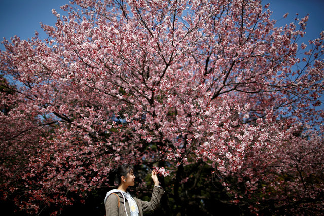 A visitor looks at early flowering Kanzakura cherry blossoms in full bloom at the Shinjuku Gyoen National Garden in Tokyo, Japan March 14, 2018. (Photo by Issei Kato/Reuters)