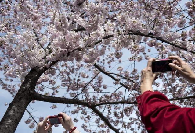 Tourists photograph cherry blossoms along the Tidal Basin on April 7, 2013 in Washington. Tourists visited the National Mall along the Tidal Basin to view blooming cherry trees, some of which were a gift from Japan in 1912, as the weather warms and spring arrives. (Photo by Brendan Smialowski/AFP Photo)