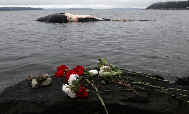 Flowers are left on a rock for a dead fin whale that washed ashore at Ed Munro Seahurst Park in Burien, Washington, on April 15, 2013. (Photo by Ellen M. Banner/The Seattle Times)