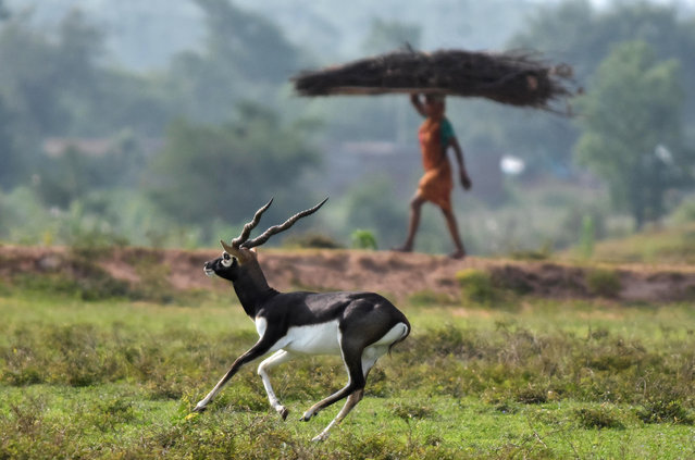 A villager carries wood while a blackbuck runs on a field near Bhetnoi village in Ganjam District, in the Indian eastearn state of Odisha on May 20, 2018. Villagers of Ganjam district due to their traditional religious belief consider blackbucks as incarnations of Lord Vishnu and harbingers of rain. (Photo by Asit Kumar/AFP Photo)