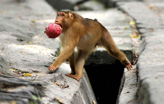 A wild macaque monkey carries a fruit left by pedestrians in the suburbs of Kuala Lumpur, Malaysia on June 11, 2013. (Photo by Mohd Rasfan/AFP Photo)