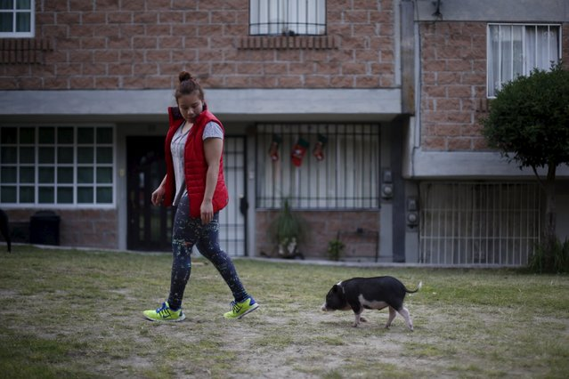 Goyo, an eight-month-old mini pig, walks in the garden with his owner in Mexico City, December 21, 2015. (Photo by Edgard Garrido/Reuters)
