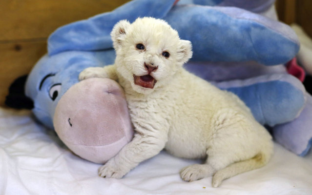 """An eight-day-old white lion cub plays with a soft toy donkey at Belgrade's """"Good hope garden"""" Zoo, October 4, 2013. The female white lion cub, still unnamed, was born eight days ago to parents Masha and Wambo. A male was also born but died. Belgrade zoo has a total of 11 white lions, which are extinct in the wild and are found only in zoos and reservations. It is estimated that there are around 500 living in captivity around the world. (Photo by Marko Djurica/Reuters)"""